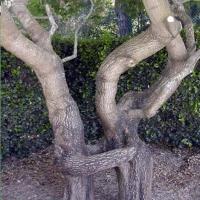 Copaci ciudati
