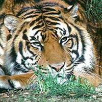 Tigrul si familia sa.
