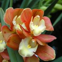 flori orhidee