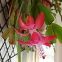 Floarea Craciunului