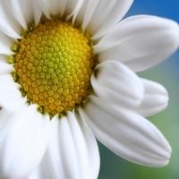 Flori+serenada
