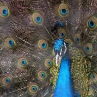 PĂUNII - păsări decorative