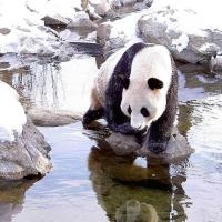Panda bears!
