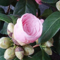 Flori in ordine alfabetica
