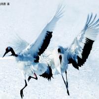 COCORII - pasari migratoare