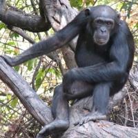 Despre maimute