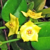 Floarea de ceara