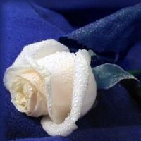 trandafiri.............