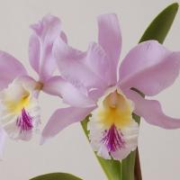 Orhidee si cugetari vietnameze