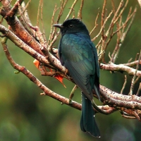 Cuckoo
