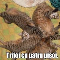 Pisicile miauna chestii hazlii