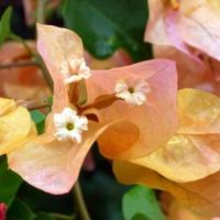 Bougainvillea sau floarea de hartie