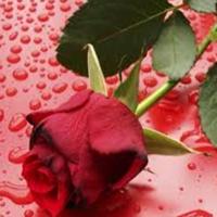 Citate trandafiri