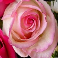 despre trandafiri