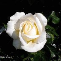 valsul trandafirilor