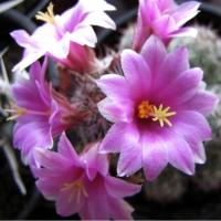 Cactusi si roci