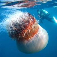 Dansul meduzelor