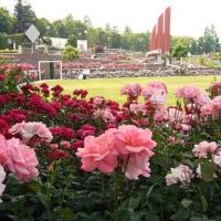 Belle roserais