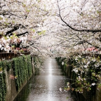 Sakura - sarbatoarea ciresilor infloriti