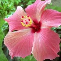 Flori de hibiscus
