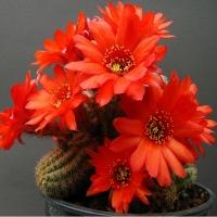 Florile desertului