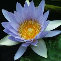 Flori de apa