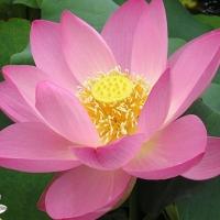 Flori de lotusi si nuferi