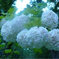 Florile Reginei Maria