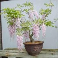 Arta naturala - bonsai glicinia