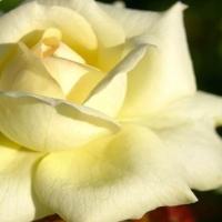 Un million de roses