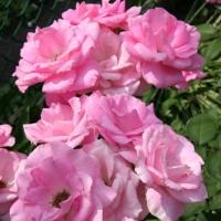 Flori de la A la Z_001