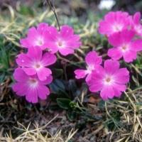 Specii endemice de plante în România