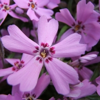 Fujiyama fleurs