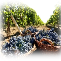 Viticultura in Vrancea