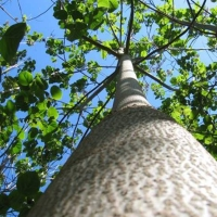 Copacul cu cea mai rapidă creştere