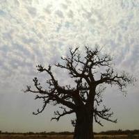 Baobab il gigante della savana