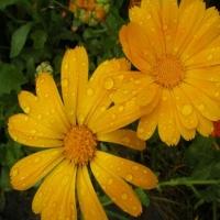 Flori in ploaie