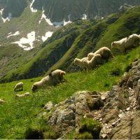 Ciobanul si reprezentantul de la guvern