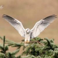 White Fauna