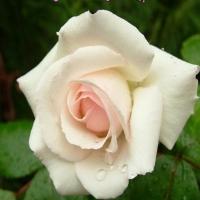 Un million des roses