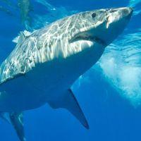le-grand-requin-blanc