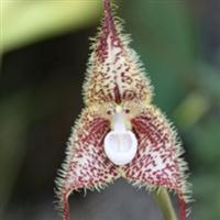 Orhideea maimuță