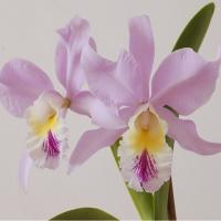 Simfonia orhideelor