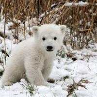 oso polar polar