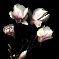Magnolii,muzica si cuvinte intelepte