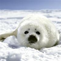 Puiul de foca