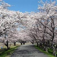 Pomi în floare