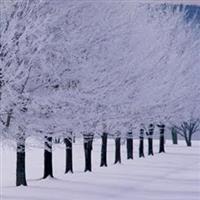 Copaci Fara Padure.