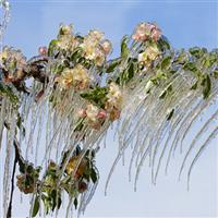 Flori de ghiata