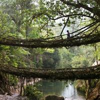 India - Meghalaya - Living root bridges-Poduri de radacini vii